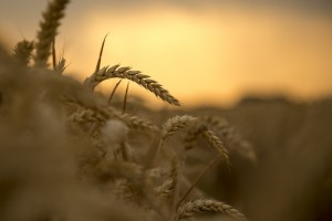 wheat-867605_1920